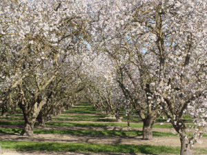 Aprikosenbaum-Porreres-300x225 Lebensmittel des Monats – Juni – die Aprikose