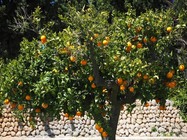 Orangenbaum_Soller Die Orange - Lebensmittel des Monats auf Mallorca