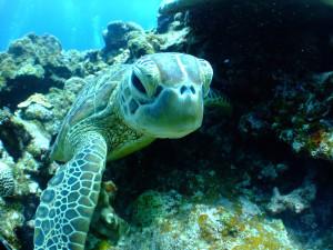Schildkröte_Tauchen_Mallorca-300x225 Tauchen auf Mallorca - Auf ins kühle Abenteuer!